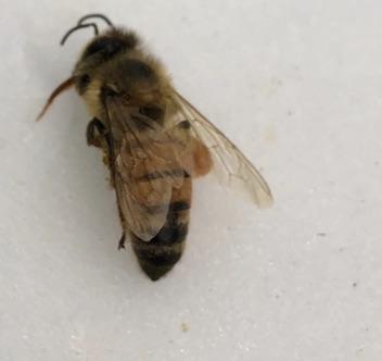 Apis Mellifera - Apis mellifera - female