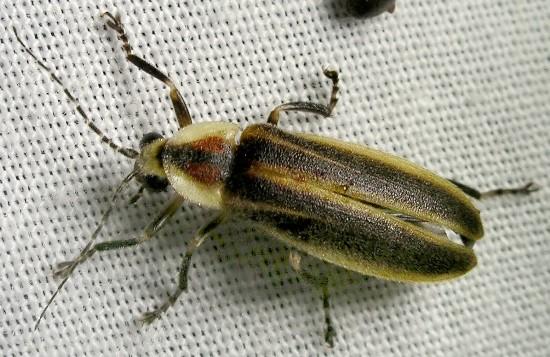 Firefly - Photuris