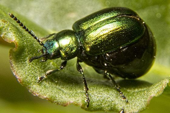 Green beetle - Pregnant? - Gastrophysa cyanea - female