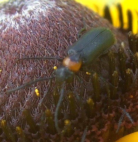 small red/black blister beetle - Nemognatha nemorensis