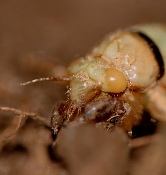 Yellow-eyed Cicadidae, nymph - Platypedia - female