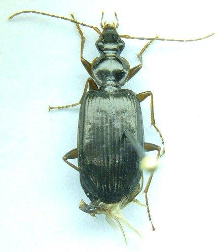 Platynus - Platynus cincticollis - male