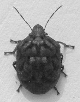 war beetle - Tetyra bipunctata