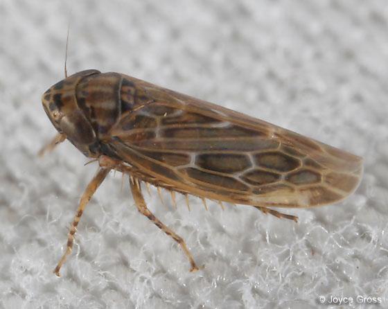leafhopper - Deltocephalus fuscinervosus