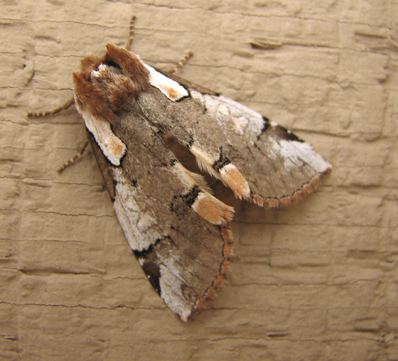 Moth 10 from Oregon - Euthyatira lorata
