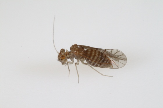 Lachesilla penta Sommerman - Lachesilla penta - female