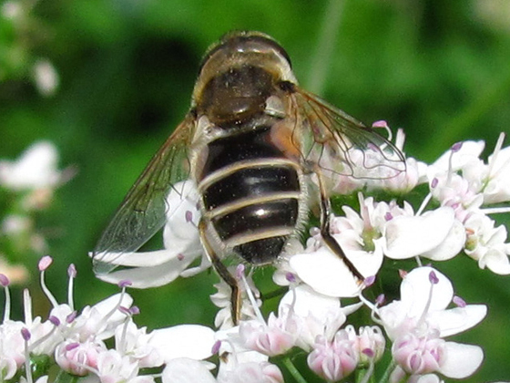 Syrphid (Hover) Fly on Cilantro - Eristalis arbustorum