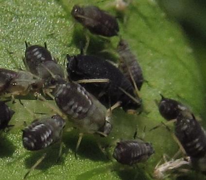 Brown aphid attacks burning bush - Aphis fabae