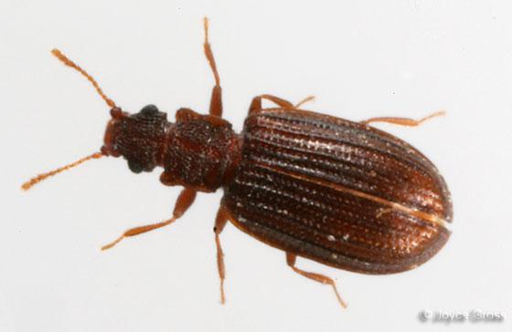 Latridiidae - Stephostethus