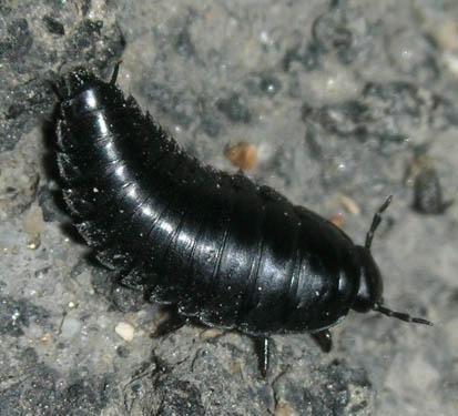 Silphid larvae - Necrophila americana