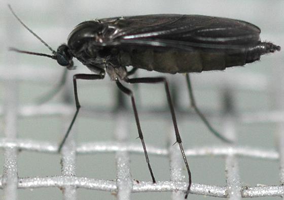 dark-winged fungus gnat