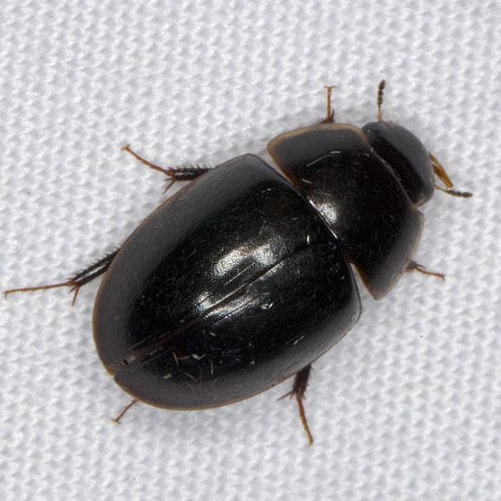 Beetle IMG_0852 - Enochrus