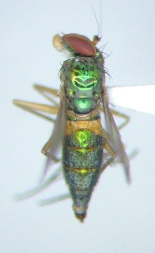 Amblypsilopus psittacinus - female