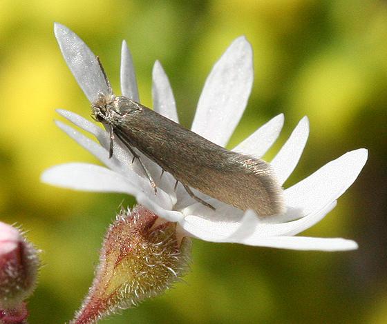 Small Silver Moth - Greya politella