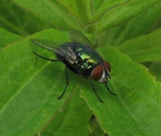 Small fly with metallic green body and red eyes - Lucilia