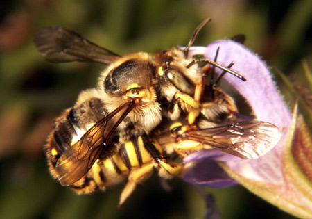 Hymenoptera / Megachilidae - Anthidium manicatum - male - female