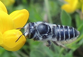 Unknown bee - Megachile