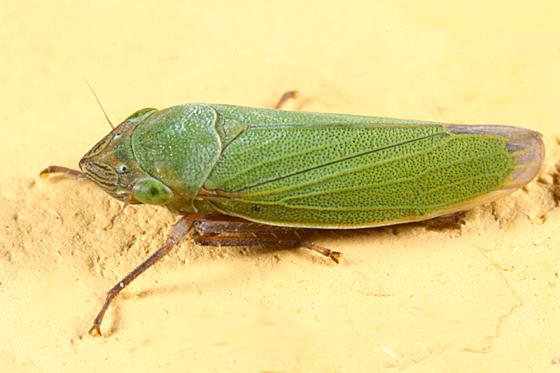 leafhopper - Helochara communis
