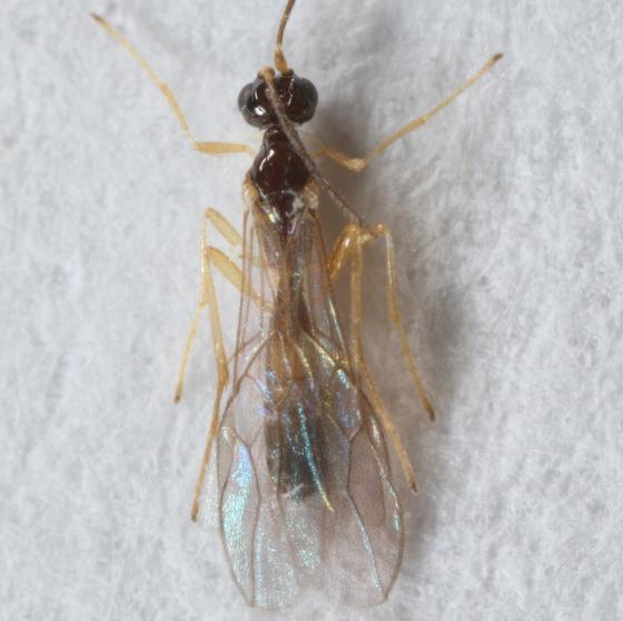Agromyzid parasitoid - Colastes
