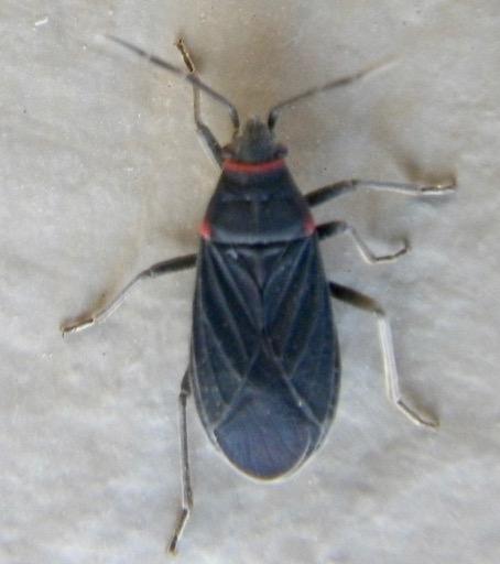 Hemipteran A 3.21.18 - Melacoryphus rubicollis