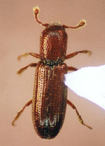 Oxylaemus californicus