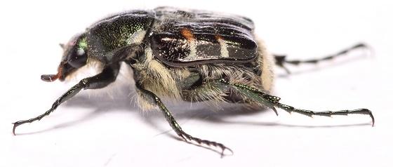 Trichiotinus affinis