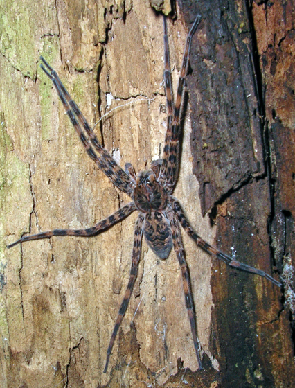 Large Black and Tan Banded Spider - Dolomedes tenebrosus