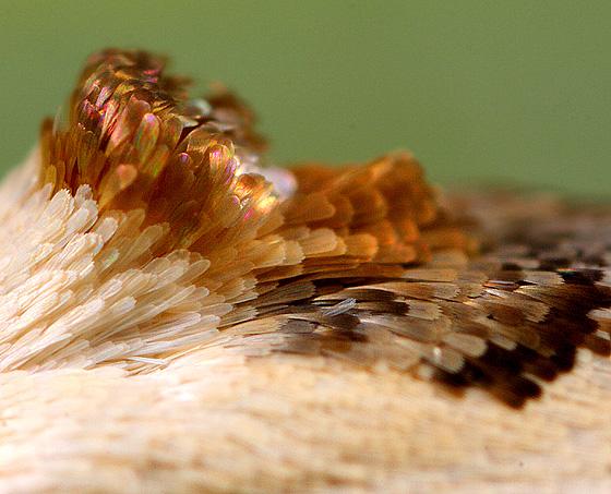 Moth ID - Antaeotricha leucillana