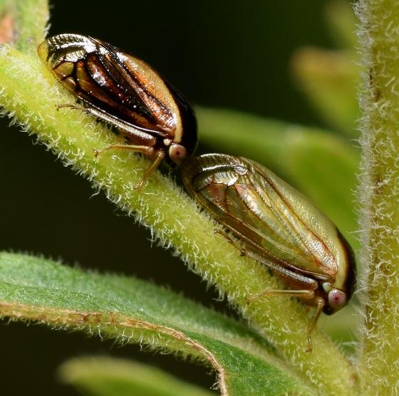 Pair of Acutalis tartarea - Acutalis tartarea - male - female