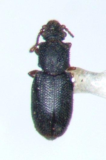 Monotoma - Monotoma americana - female