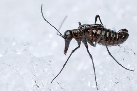 Snow Scorpionfly - Boreus californicus - male