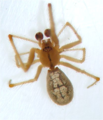 Theridion - male