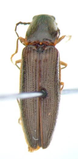 Athous 03 - Athous acanthus - male