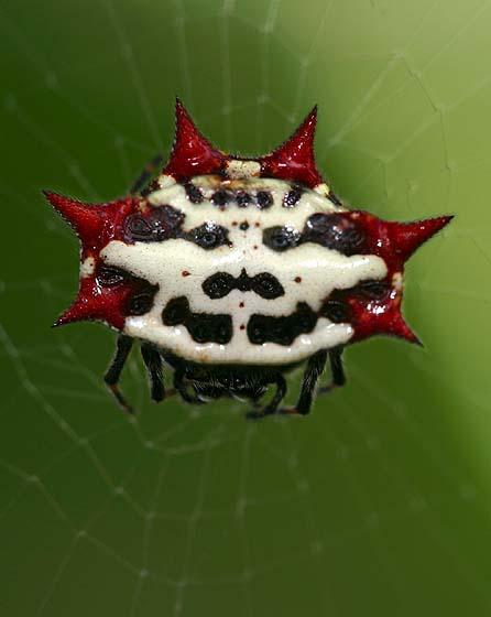 Crablike Spiny Orbweaver Spider - Gasteracantha cancriformis