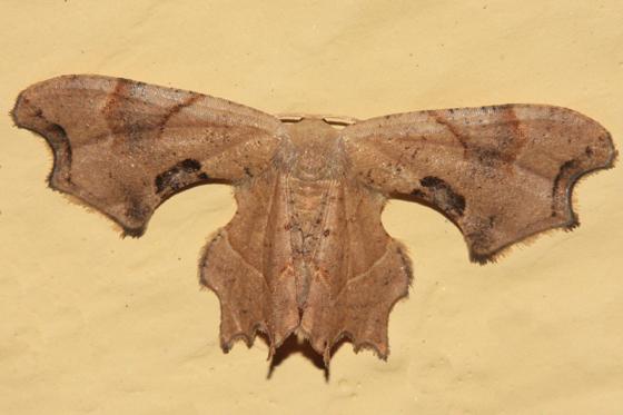 Scoopwing Moth - Calledapteryx dryopterata