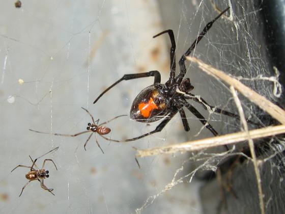 Western Black Widow - Latrodectus geometricus - male - female