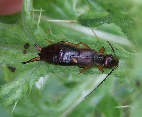 earwig sp. - Forficula auricularia - female