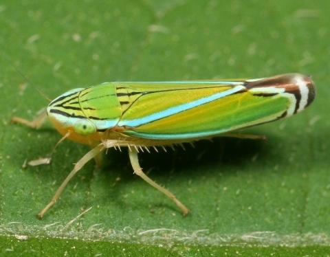 Ornamental Leafhopper - Sibovia