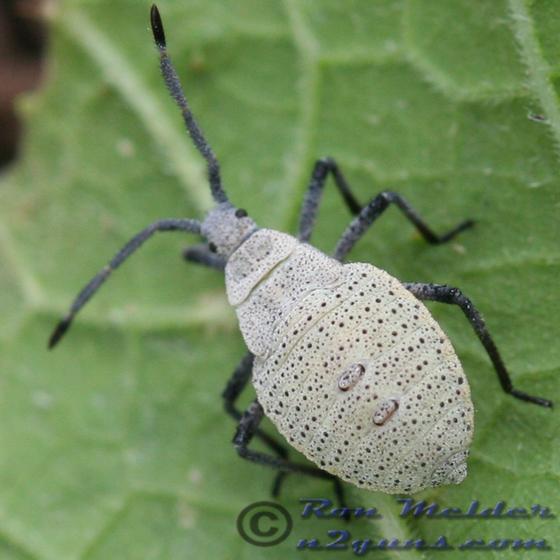 Squash Bug - Anasa tristis