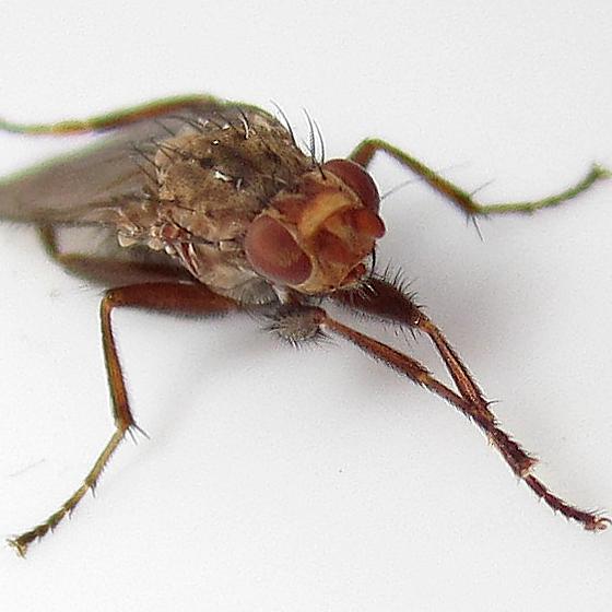 Heleomyzidae in Feb