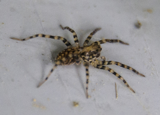 Large brown spiders with white strips