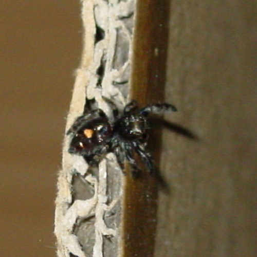 black hairy spider w/ red/orange triangle on back top side - Phidippus audax