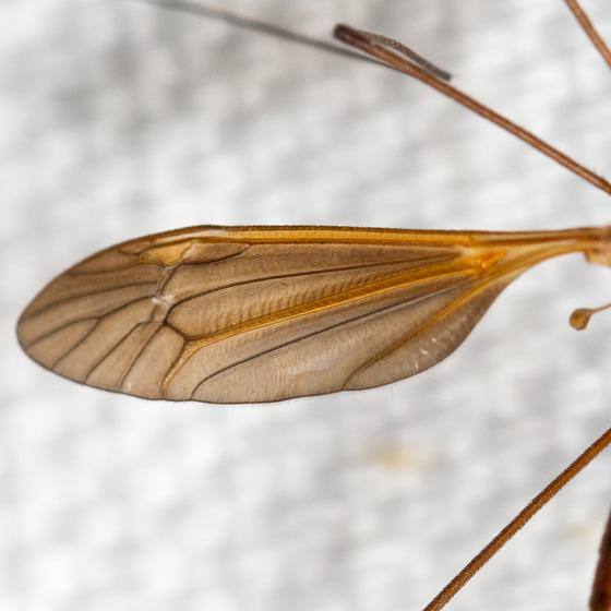 Tipulomorpha - Crane Flies - Angarotipula illustris