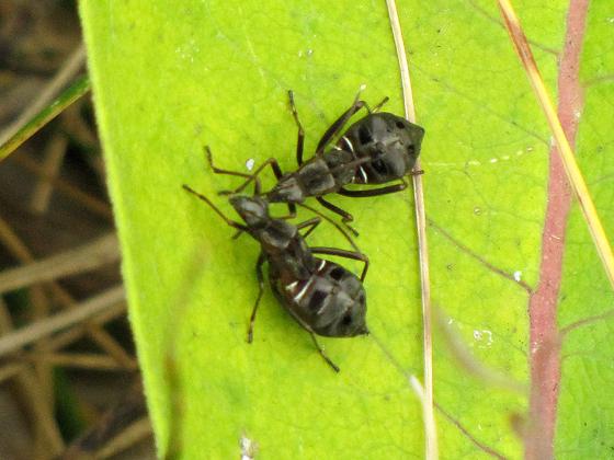 Ant Lookalikes - Alydus