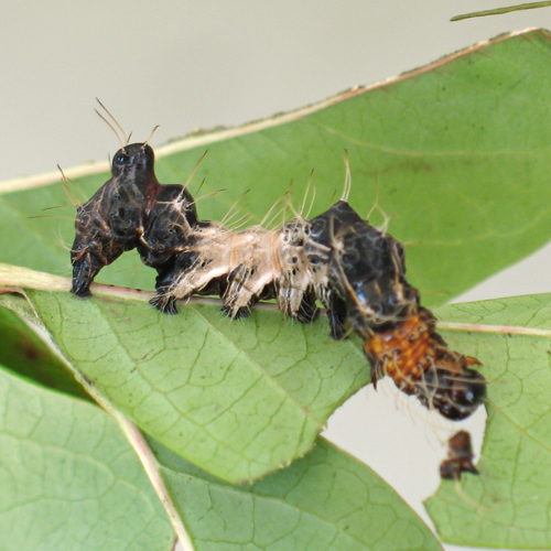 Harrisimemna trisignata (harris' three spot moth) caterpillar - Harrisimemna trisignata