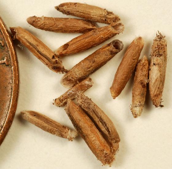 detached casebearer moth cases from mature fruits of great water dock (Rumex britannica) - Coleophora benestrigatella