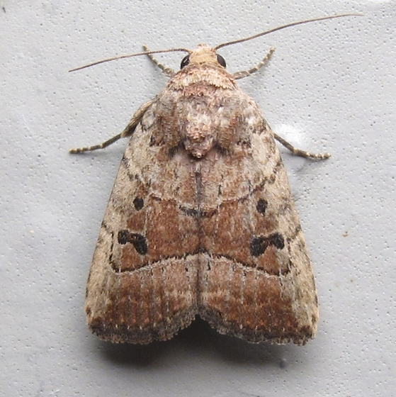 Hodges #9675 - Elaphria fuscimacula