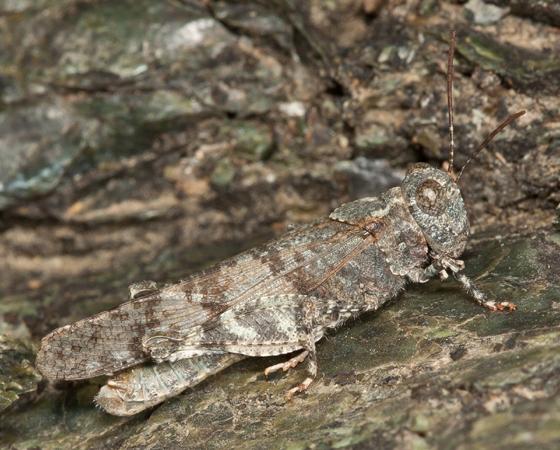 Occidental Grasshopper - Trimerotropis occidentalis - male