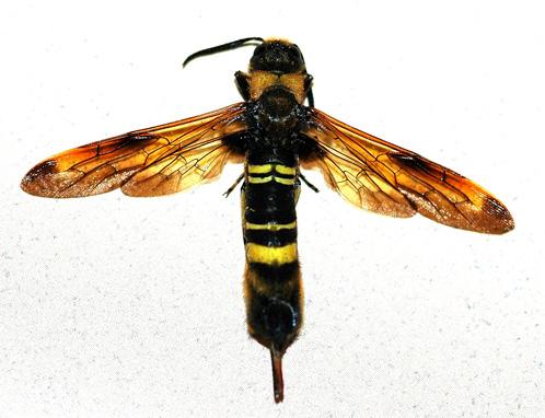 Asian Horntail - Eriotremex formosanus - female