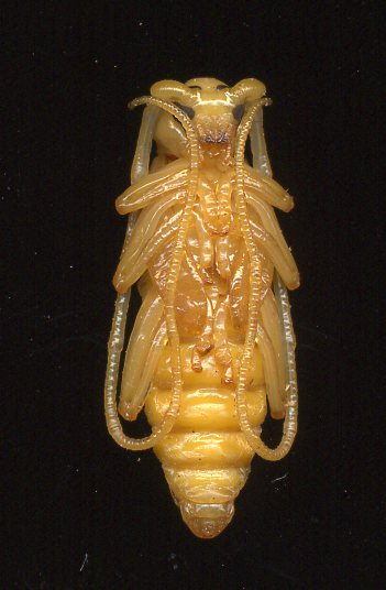 Longhorn Beetle - Knulliana cincta